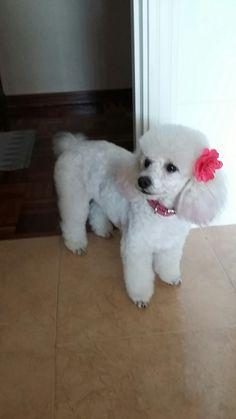 Chorro Poodle