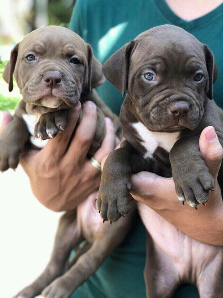 Filhotes de Pitbull a venda 940577831..993941241