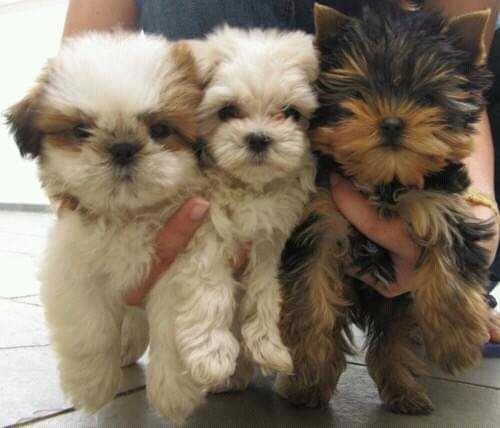 Filhotes de Caniches a venda 940577831